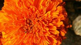 Nagietka Tagetes lub kwiatu nagietki calendula officinalis, caltha, ganda lub gols kwitną złocistego kwiatu lub uprawiają ogródek Fotografia Royalty Free