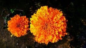 Nagietka Tagetes lub kwiatu nagietki calendula officinalis, caltha, ganda lub gols kwitną złocistego kwiatu lub uprawiają ogródek Zdjęcia Stock