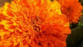 Nagietka Tagetes lub kwiatu nagietki calendula officinalis, caltha, ganda lub gols kwitną złocistego kwiatu lub uprawiają ogródek Zdjęcie Royalty Free