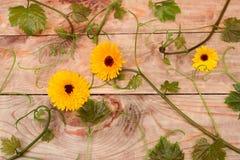 Nagietka winograd i kwiaty Fotografia Stock