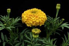Nagietki & x28; Łaciny imię: Tagetes& x29; żółty kolor zdjęcie royalty free
