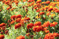 Nagietki i Macroglossum stellatarum na ogródzie zdjęcia royalty free