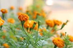 Nagietki kwitną w ogródzie Zdjęcie Stock