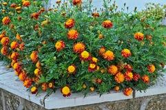 Nagietki kwitnie w ogródzie Zdjęcia Royalty Free