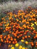 Nagietki w kwiacie Zdjęcie Stock