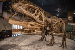 Fossil dinosaur in Japan museum royalty free stock photo