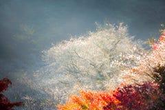 Nagoya, Obara Sakura in autumn. Nagoya, Obara. Autumn Landscape with sakura blossom. Shikizakura kind of sakura blooms once in spring, and again in autumn stock image