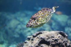 Nagryzmolony filefish Zdjęcie Royalty Free