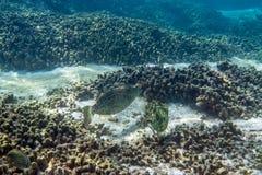 Nagryzmolony filefish Obrazy Royalty Free