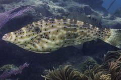Nagryzmolony filefish Obraz Stock