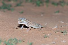 Nahöstlicher Kurz-fingriger Gecko im Sand stockfotos