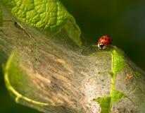 Nah an einem ladybeetle und vielen Krebsgeschwürendlosschrauben Stockbild