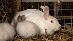 Nah herauf drei weiße Kaninchen im Käfig stock video