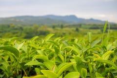 Nah oben, sind grüne Teeblätter an der Spitze des Teebaums in einer Plantage des grünen Tees Reihen nahe den Bergen für ein natür stockbilder