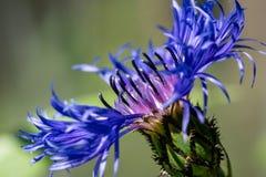 Nah oben vergrößert von einer Bluebonnet- oder Maisblume stockfoto