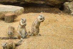 Nah oben von den meerkats im Zoo lizenzfreie stockbilder