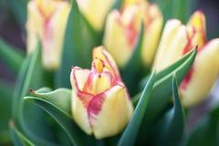 Nah - oben von der gelben niederländischen Tulpe im Garten mit Tulpen lizenzfreies stockfoto