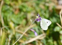 nah oben von einem weißen Schmetterling friedlich aufgeworfen auf einer purpurroten Blume, um Nektar an einem sonnigen Tag des Fr lizenzfreie stockfotos
