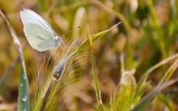 nah oben von einem weißen Schmetterling friedlich aufgeworfen auf einem grünen Kraut an einem sonnigen Tag des Frühlinges auf ein lizenzfreie stockbilder