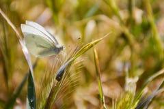 nah oben von einem weißen Schmetterling friedlich aufgeworfen auf einem grünen Kraut an einem sonnigen Tag des Frühlinges auf ein lizenzfreies stockfoto