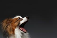 Nahaufnahme überraschte weißen Papillon-Hund mit geöffnetem Mund lizenzfreie stockfotografie