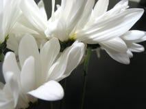 Nahaufnahme 1 des weißen Gänseblümchens stockfotos