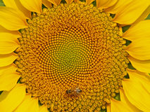 Nahaufnahme-Abbildung der Sonnenblume Lizenzfreie Stockbilder