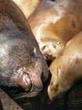 Nahaufnahme-Abbildung des Kopfes des Seelöwen Lizenzfreie Stockfotografie