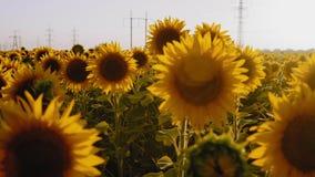 Nahaufnahme, Abfahrt, Sonnenblumen-Blumen wachsen auf dem Feld, Einfluss im Wind stock footage
