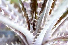 Nahaufnahme-Aechmea fasciata Stockbild