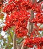 Nahaufnahme-Affe-Blumen-Baum oder Feuer von Pakistan auf unscharfer Natur Stockfotografie