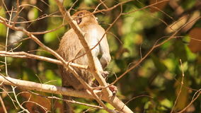 Nahaufnahme-Affe sitzt auf Niederlassung isst Frucht im Park stock video