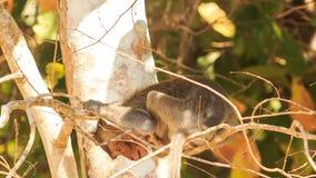Nahaufnahme-Affe sitzt auf Niederlassungs-Blicken unten im Park stock video