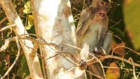 Nahaufnahme-Affe sitzt im Baum-Nagen-kleinen Stock im Park stock video footage