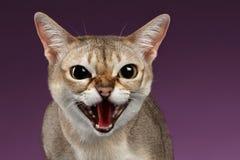 Nahaufnahme aggressiver Singapura Cat Hisses auf Purpur Stockfotos
