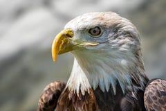 Nahaufnahme-Ansicht des Weißkopfseeadlers Lizenzfreie Stockfotografie