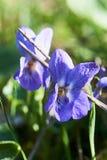 Nahaufnahme-Ansicht einer Viola Lizenzfreies Stockbild