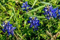Nahaufnahme-Ansicht von berühmtem Texas Bluebonnet (Lupinus texensis) Wildf Lizenzfreie Stockbilder