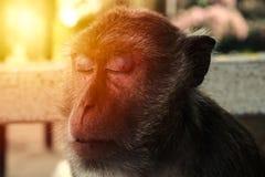 Nahaufnahme auf Affe ` s Gesicht Schlafenaffe Lizenzfreie Stockfotos