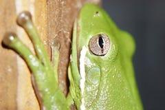 Nahaufnahme auf dem Auge eines grünen Baumfrosches, der einem Zaunbeitrag anhaftet lizenzfreie stockfotos