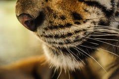 Nahaufnahme auf dem Gesicht eines Tigers Stockbild