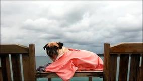 Nahaufnahme auf dem Haustier Pug-Hund, der auf einem Strand-Stuhl durch Meer an bewölktem mit großer Kleidung stillsteht stock footage