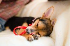 Nahaufnahme auf dem kleinen netten Welpen mit rotem Band schlafend auf weißem Bett Lizenzfreies Stockbild
