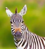 Zebra Stockbild
