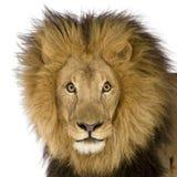 Nahaufnahme auf dem Kopf eines Löwes (8 Jahre) - Panthera Löwe Stockfotografie