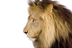 Nahaufnahme auf dem Kopf eines Löwes (8 Jahre) - Panthera Löwe stockfoto