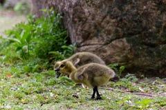 Nahaufnahme auf den kanadischen Gänsen des Babys, die den Boden auswählen lizenzfreies stockfoto