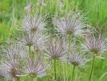 Nahaufnahme auf der Blume Pasque Flower, Heilpflanzen, Kräuter in der Wiese Frühlingszeit und sonniger Tag Stockfotos