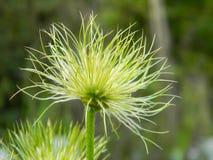 Nahaufnahme auf der Blume Pasque Flower, Heilpflanzen, Kräuter in der Wiese Frühlingszeit und sonniger Tag Natürlicher Blumenhint Lizenzfreie Stockfotos