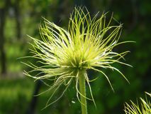 Nahaufnahme auf der Blume Pasque Flower, Heilpflanzen, Kräuter in der Wiese Frühlingszeit und sonniger Tag Natürlicher Blumenhint Stockbilder